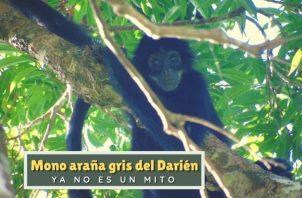 El mono araña gris del Darién es una especie única de Panamá y Colombia. Foto: Cortesía