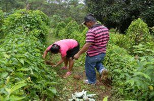 En Panamá Oeste, existe gran cantidad de productores de hortalizas, raíces y tubérculos además de café. Foto: Eric Montenegro