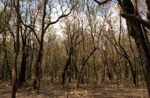 Investigan las causas específicas de la extinción de los manglares en los corregimientos de Panamá Viejo y Juan Díaz. Foto: EFE