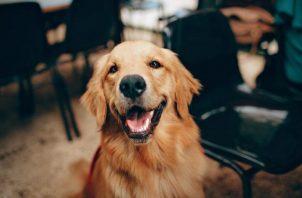 El Alzheimer de los perros y se presenta en canes mayores o en edad senior. Foto: Ilustrativa / Pexels