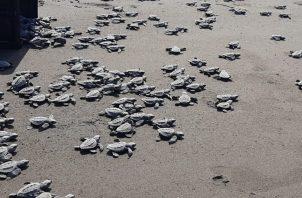 Las jornadas de concienciación van encaminadas a crear viveros en las áreas donde llegan a anidar las tortugas. Foto: Diomedes Sánchez