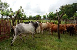 Los ganaderos señalan que están en disposición de dialogar con las autoridades administrativas de los distritos y poder lograr un acuerdo que permita unificar criterios para el traslado del ganado. Foto: José Vásquez