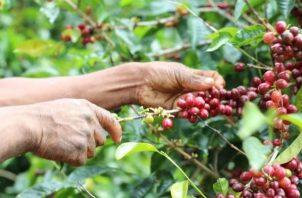 Plantación de café Geisha. Foto: Archivo