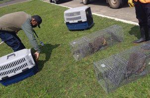 Los mapaches fueron liberados en el sector de Río Mandinga en Arraiján. Foto: Eric A. Montenegro