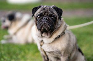 Perros 'pug'. Pixabay