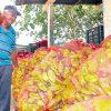 Incansable obrero del agro de La Espigadilla santeña - Panamá América